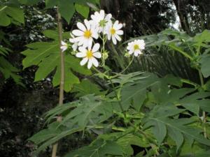 Margaritero (Montanoa bipinnatifida (Kunth) C. Koch)