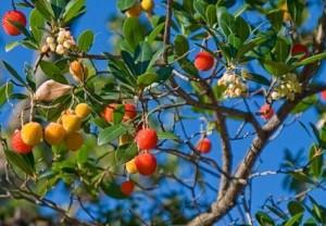 Flor y fruto del Madroño