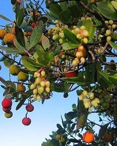 Fruto y flor del Madroño