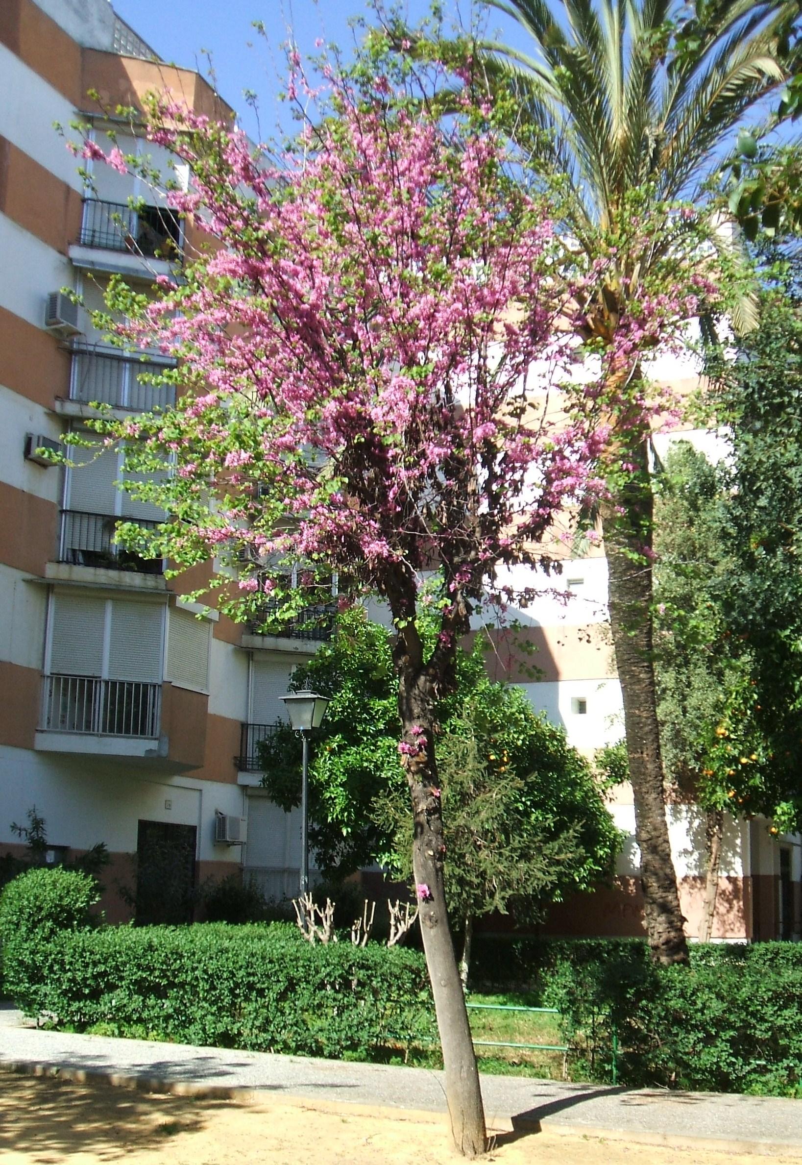 Rbol del amor rosa asociaci n amigos de los jardines de for Arboles para cierre de jardin