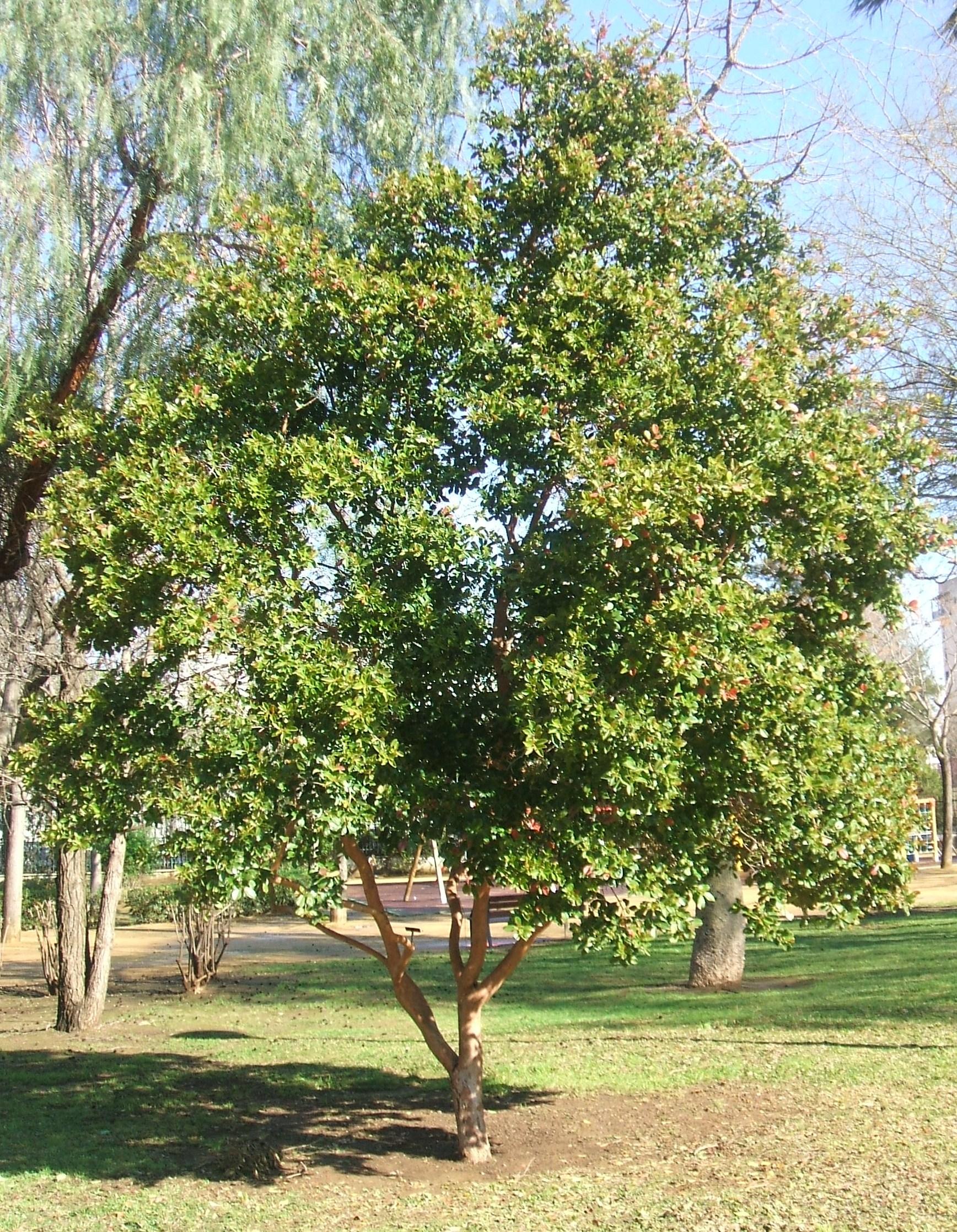 Arbol de guayaba for Las caracteristicas de los arboles