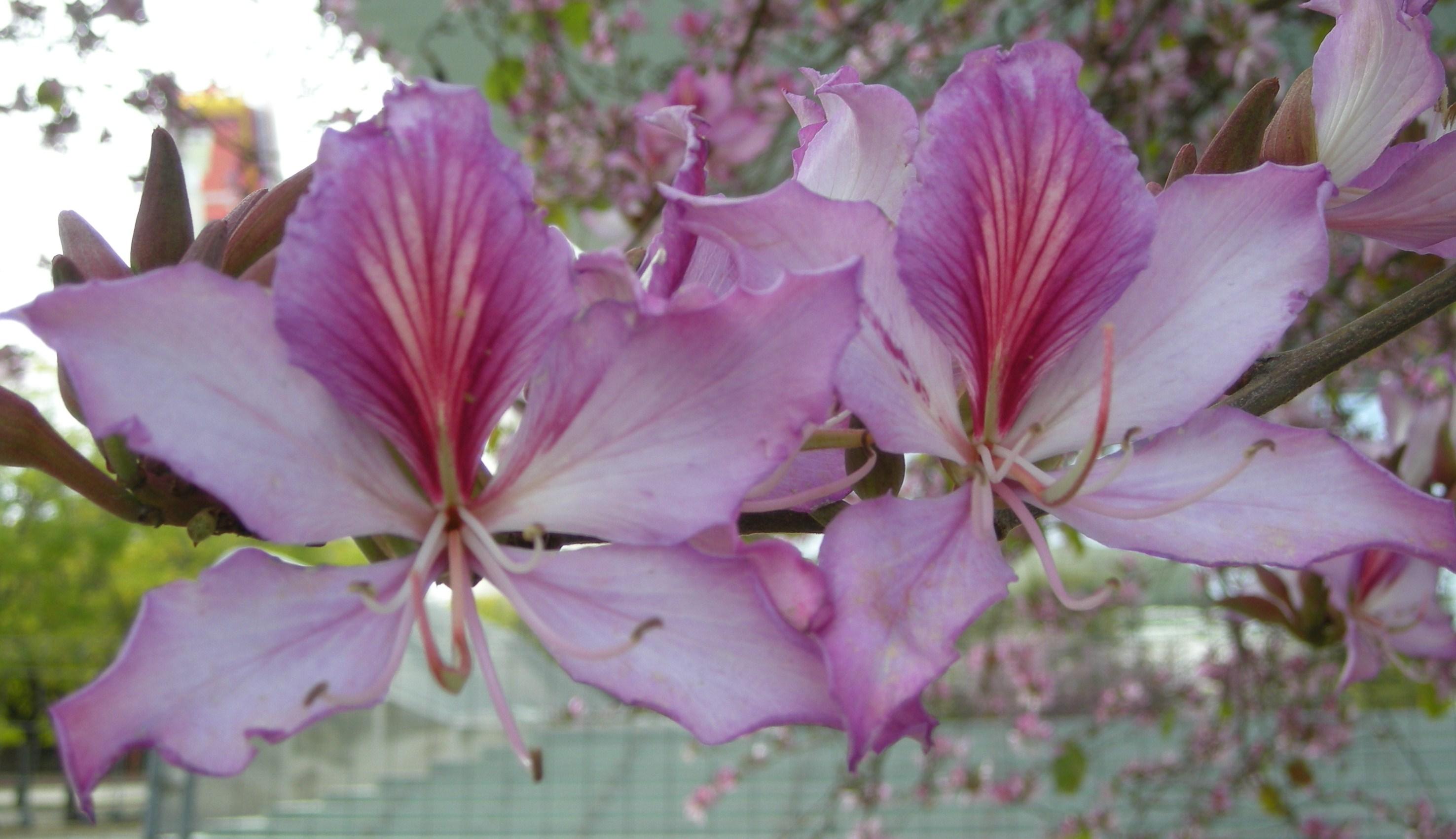 El rbol de las orqu deas o bauhinia rosa asociaci n - Arbol de rosas ...