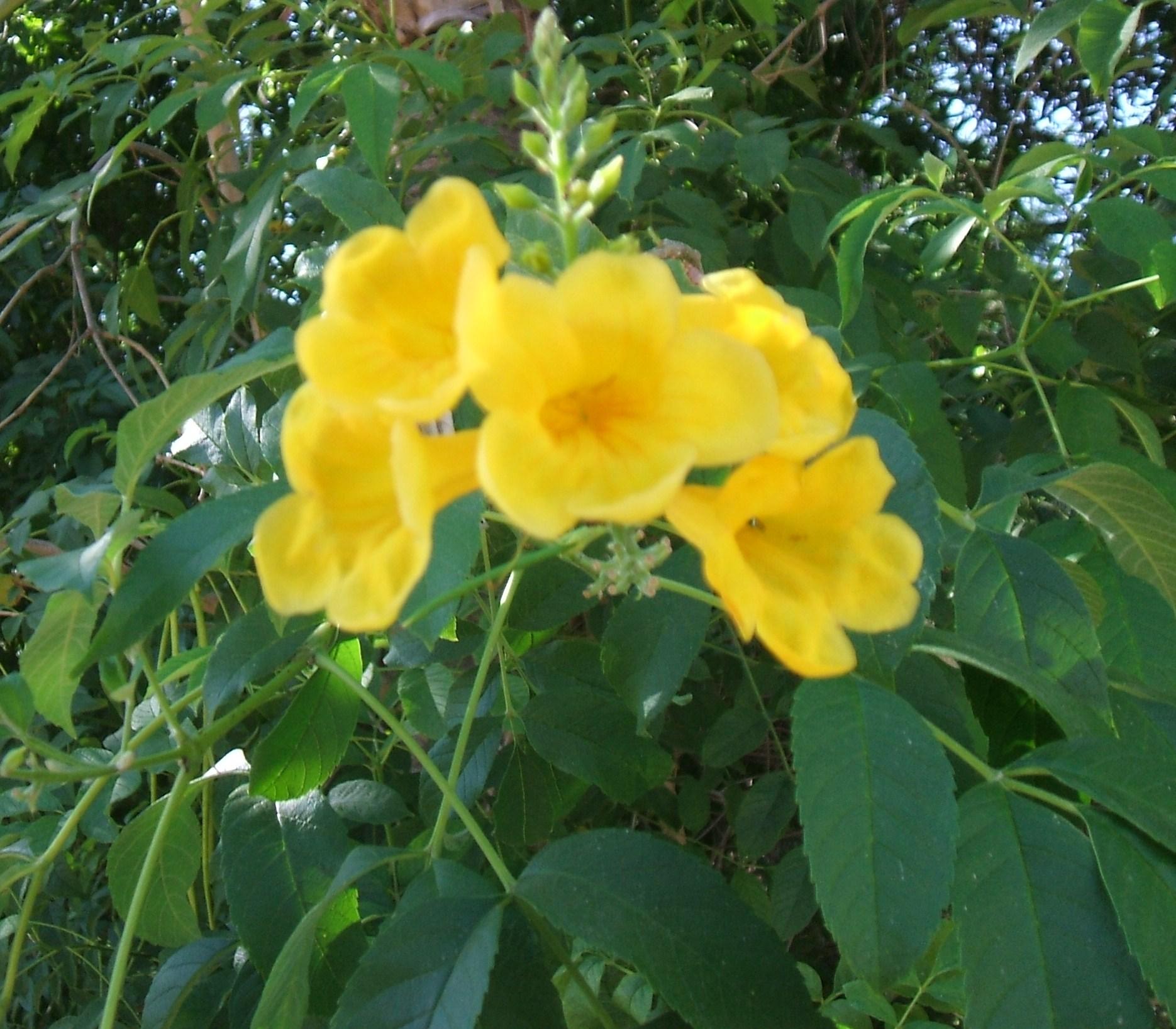 Rboles de sevilla asociaci n amigos de los jardines de for Arboles ornamentales para jardin