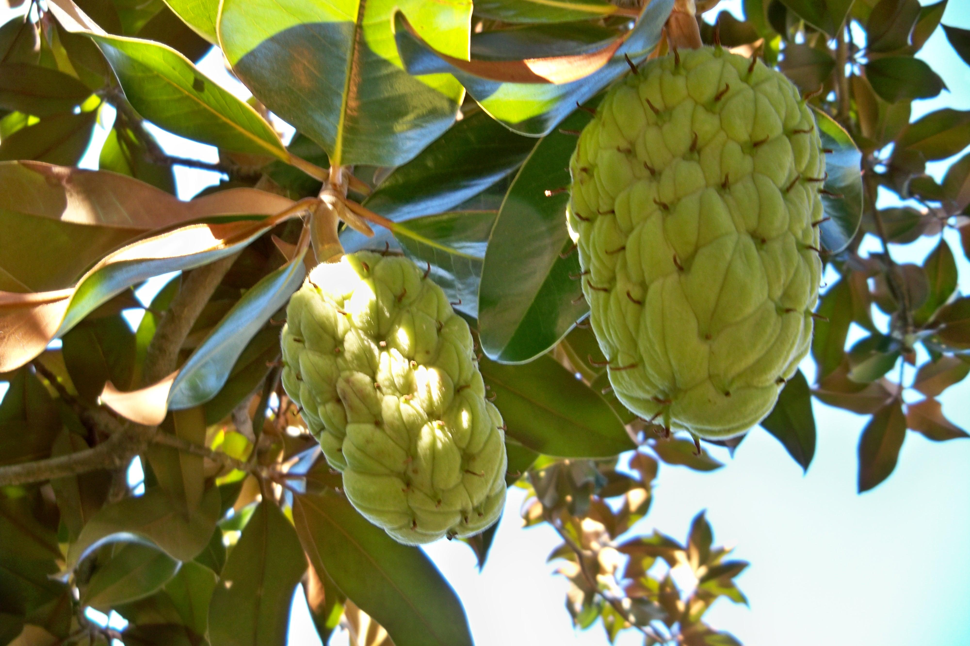 Magnolia grandiflora l asociaci n amigos de los - Cuidados del magnolio ...
