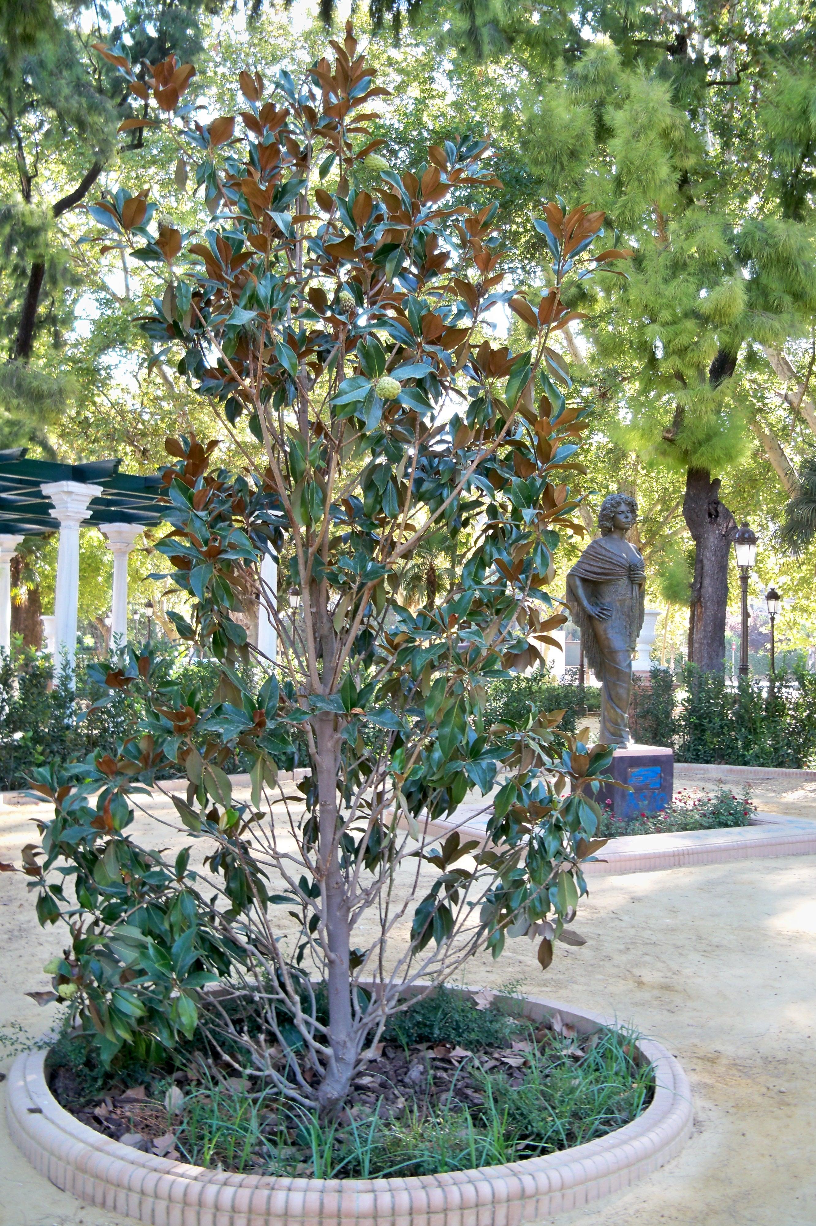 Magnolio magnolio ampliar magnolio y camelias - Cuidados del magnolio ...