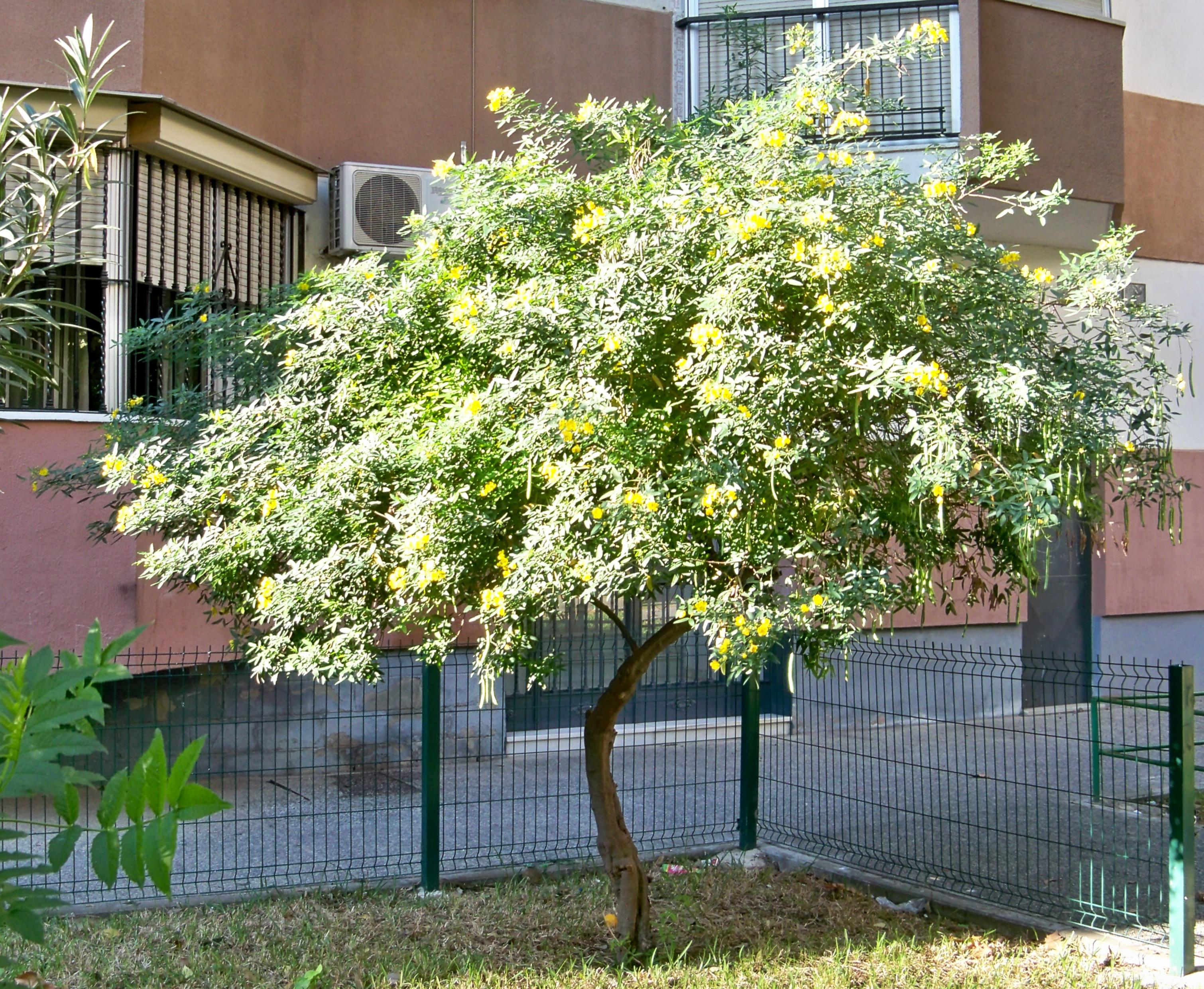 Casia de buenos aires asociaci n amigos de los jardines de la oliva - Arbustos de jardin ...