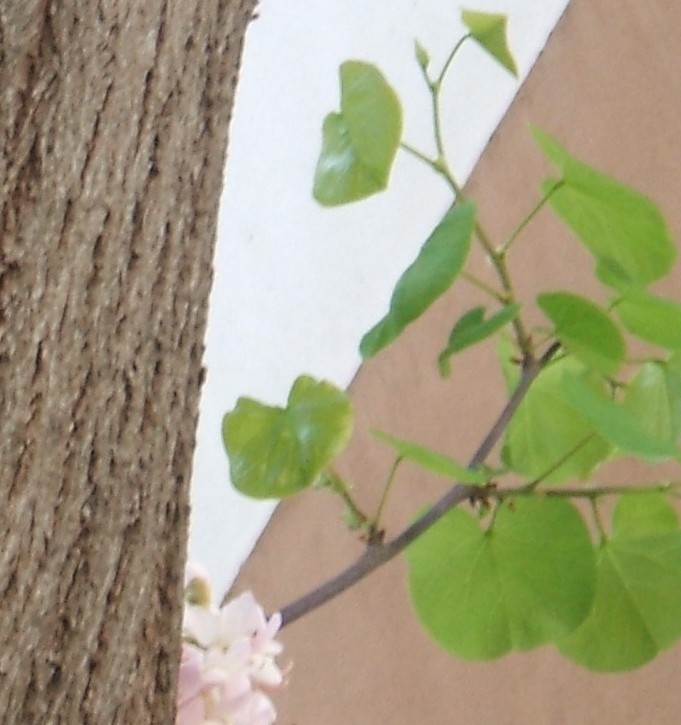 el rbol del amor de flores blancas asociaci n amigos de