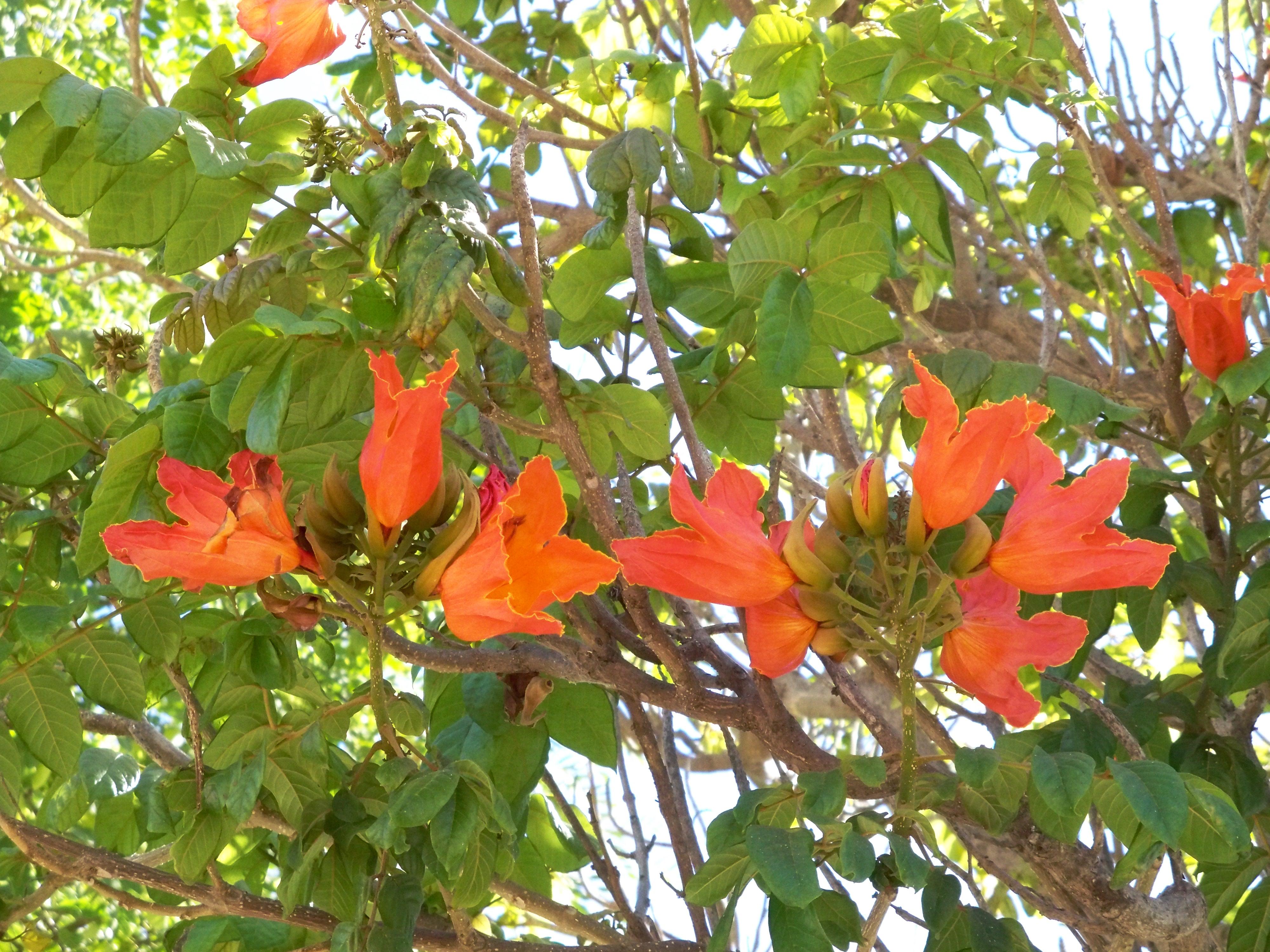 Rboles de frica asociaci n amigos de los jardines de for Arboles con flores para jardin