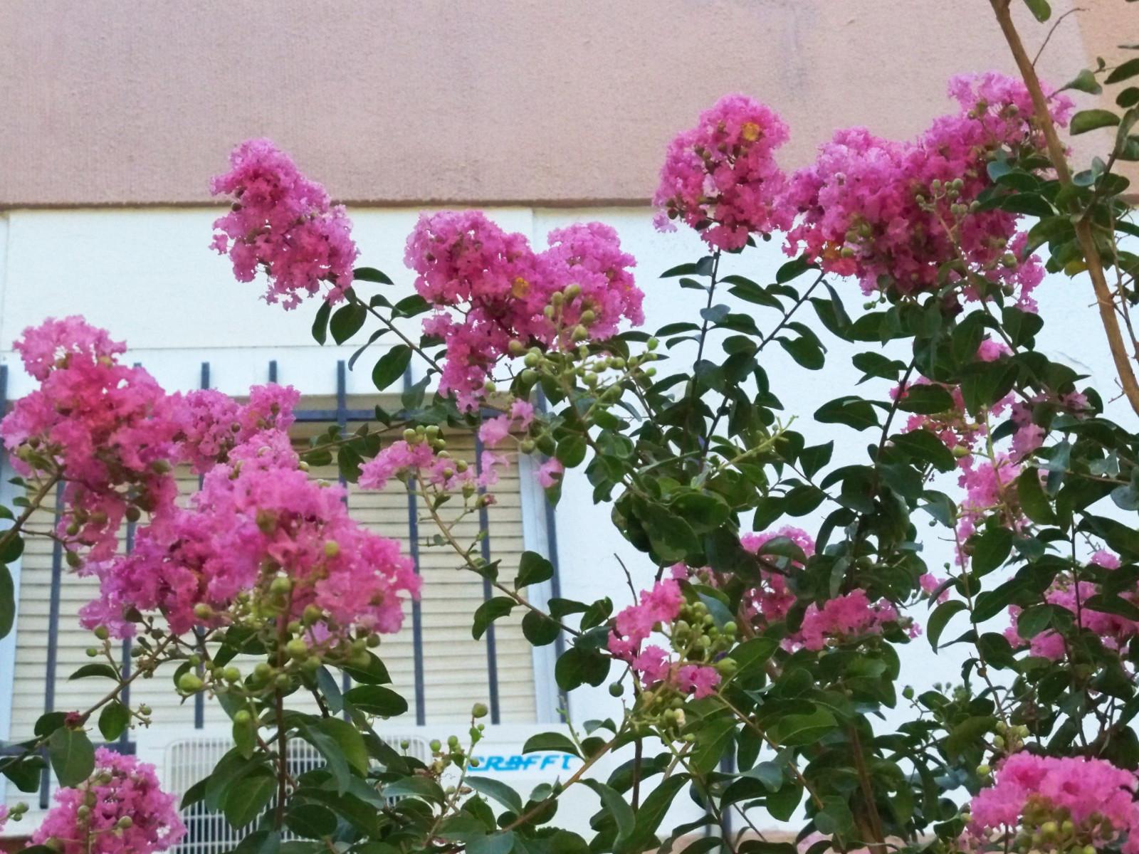Rboles de asia asociaci n amigos de los jardines de la for Arboles de flores para jardin