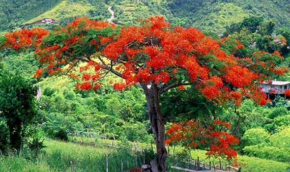 Flores Del Flamboyán Asociación Amigos De Los Jardines De La Oliva