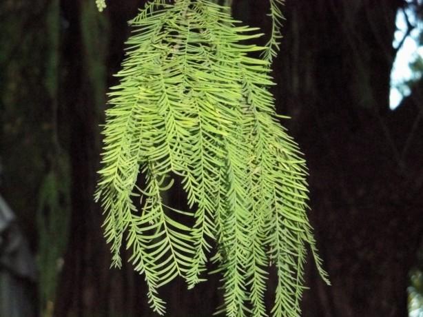 2.-Las hojas del taxodio