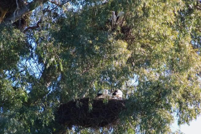 Detalle de los nidos de cigüeñas