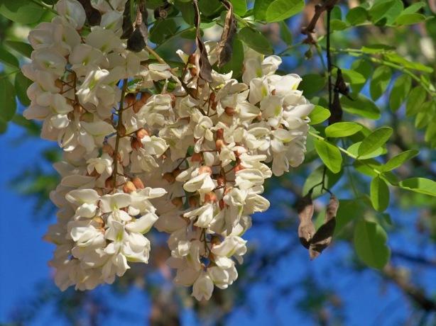 Detalles de la inflorescencia de la falsa acacia