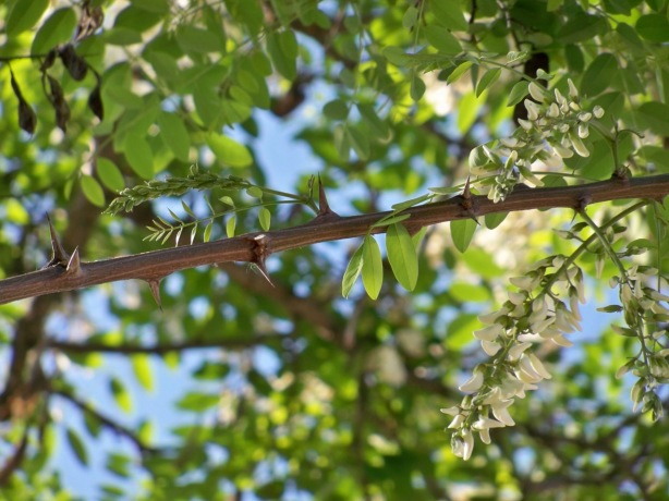 Detalle de las ramas espinosas