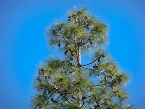 Piñas en el árbol
