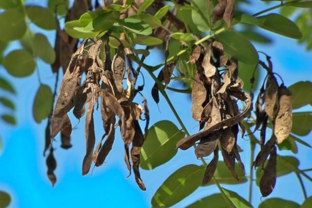 Frutos colgantes de la falsa acacia