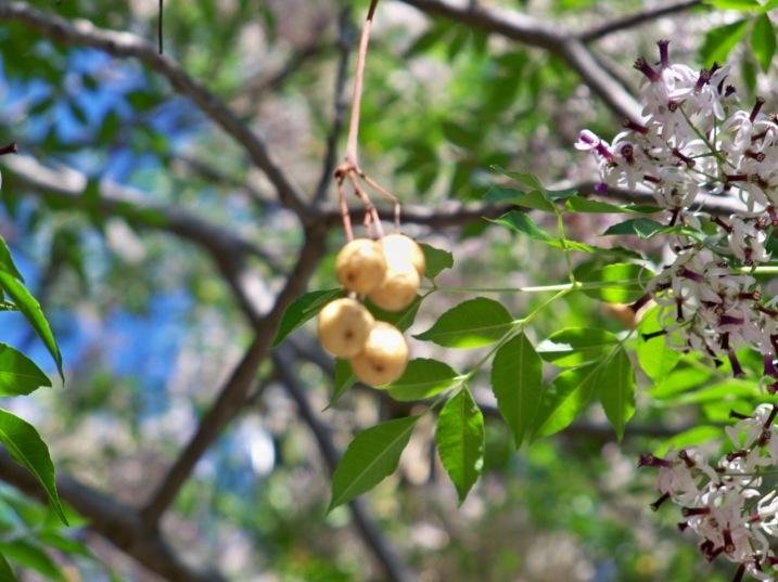 Flores. frutos y hojas de la melia