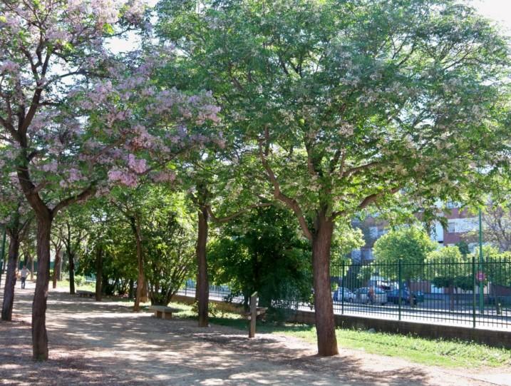 Paraísos en el paseo perimetral del Parque José Celestino Mutis