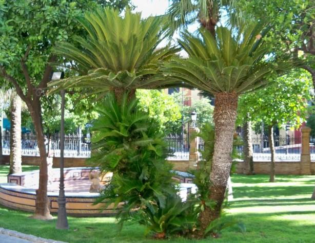 Cicas ornamentales