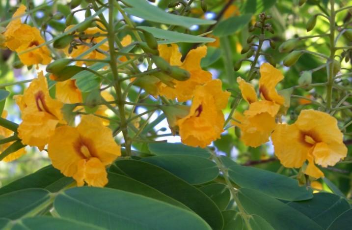 Flores de la tipuana