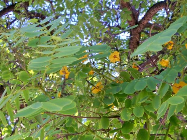 hojas y ramas de la tipuana