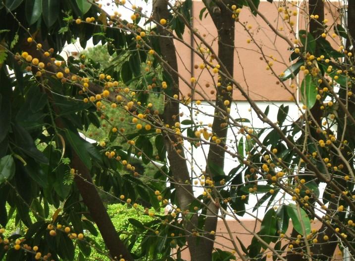 Acacia farnesiana en la barriada Ntra. Sra. de la Oliva. La plantamos el 20-10-91