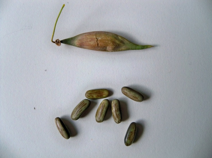 Fruto y semillas de la parquinsonia