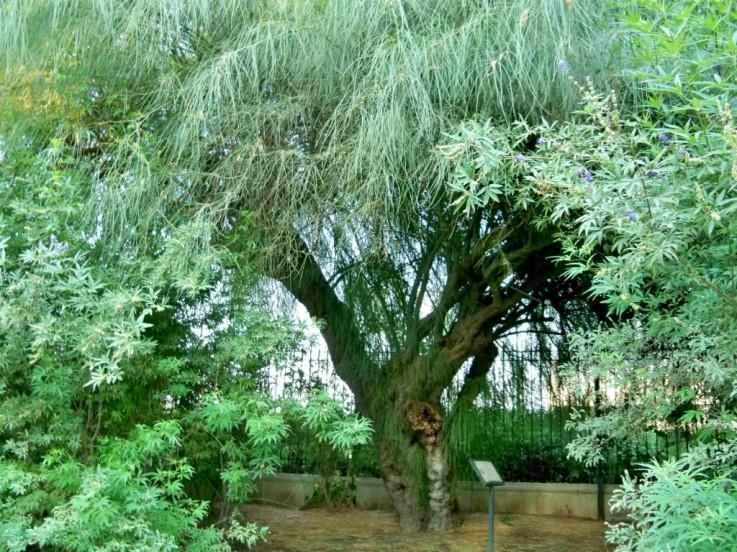 La parquinsonia más antigua de Sevilla, plantada con motivo de la Exposición Iberoamericana de 1929 en los Jardines de las Delicias.