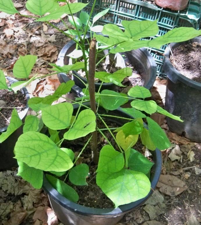 Pizamo (Erythrina fusta Lour.)