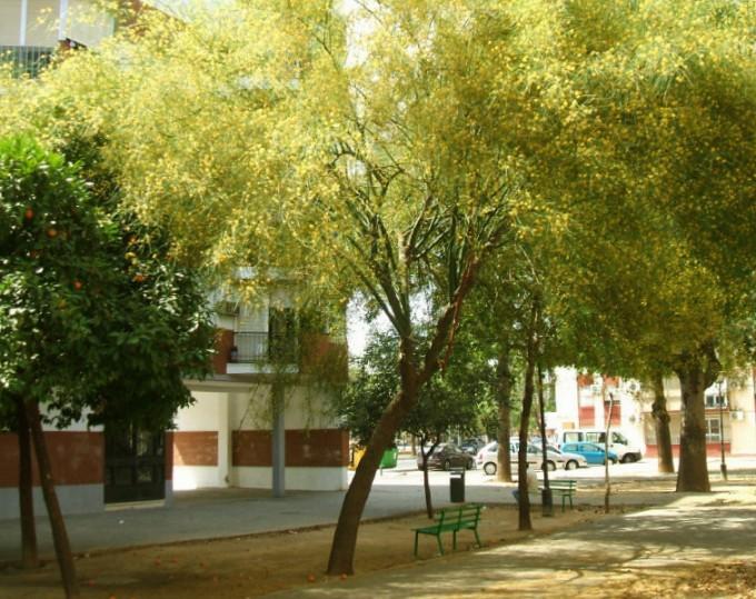 Plantado el día 10 de abril de 1992 en la barriada Ntra. Sra. de la Oliva, en la zona de albero, frente al bloque 136.