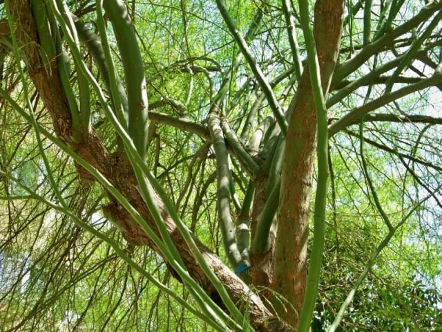 Tronco y ramas de la parquinsonia