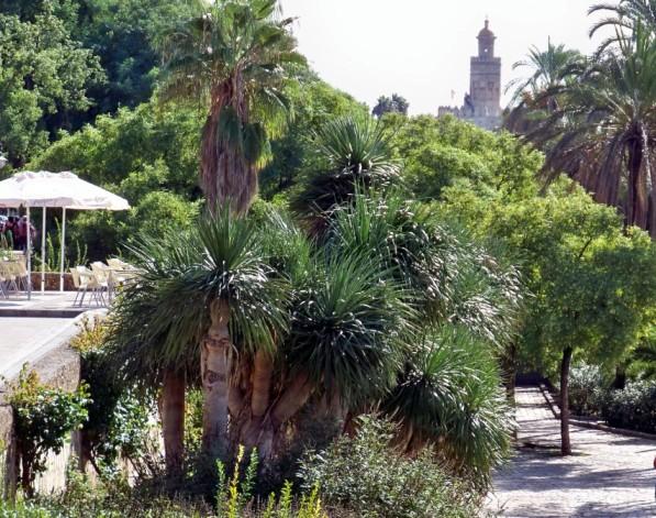 Bosquecito de dragos a la orilla del Guadalquivir