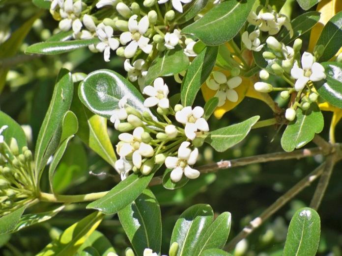 Pistósporo en flor ( Pittosporum tobira Ait,)