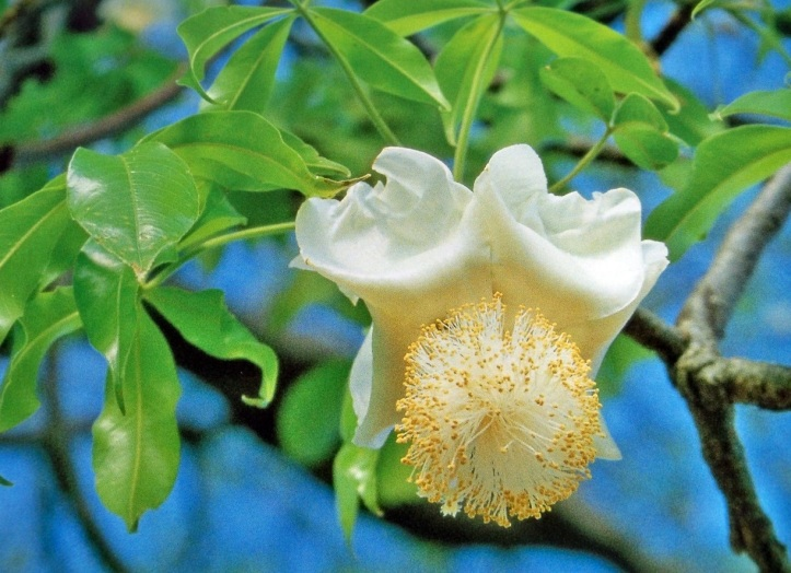 la flor del baobab
