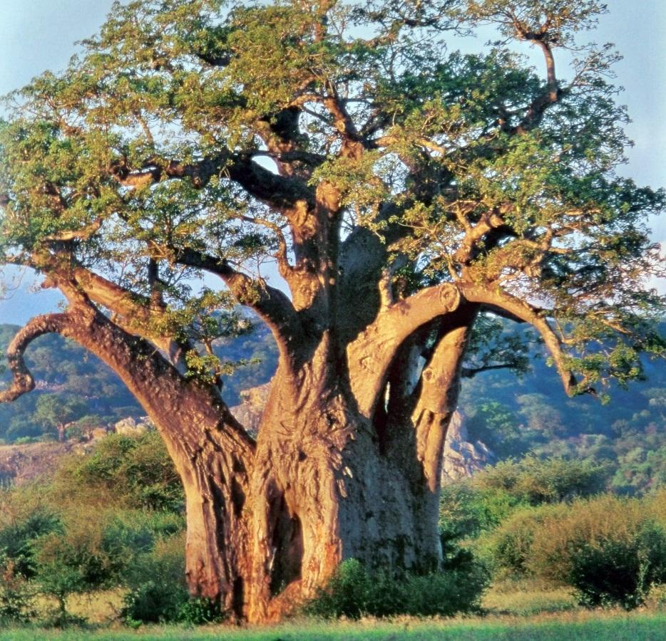 Árboles de África | Asociación Amigos de los Jardines de la Oliva