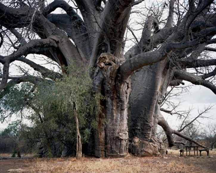 El gigantesco baobab de Segole (Sudáfrica)
