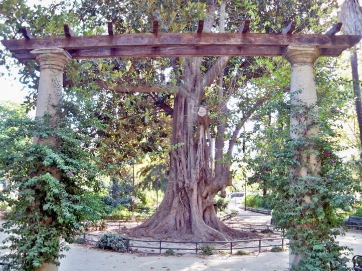 Este colosal árbol de las lianas está plantado en el centro de la glorieta dedicada a Goya en el Parque de María Luisa.