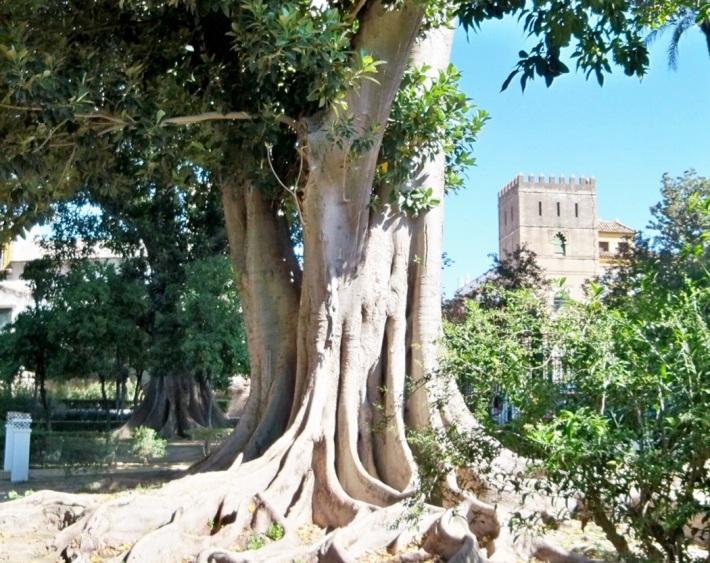 En los Jardines de Murillo de Sevilla hay cinco magníficos ejemplares de árbol de las lianas.
