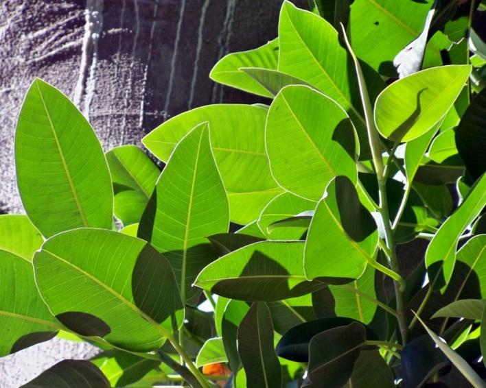 Detalle de las hojas del árbol de las lianas.