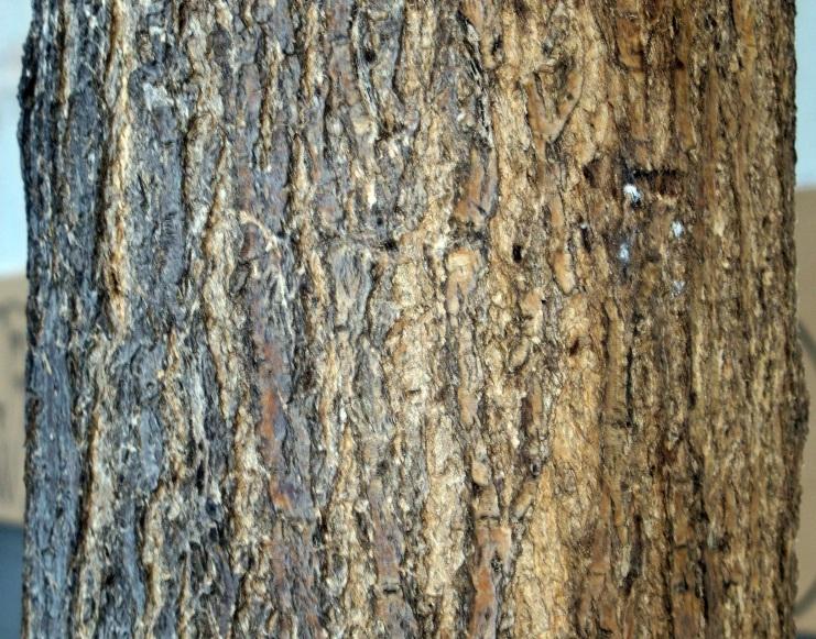 Detalle de la corteza del tronco de la sófora del Japón.