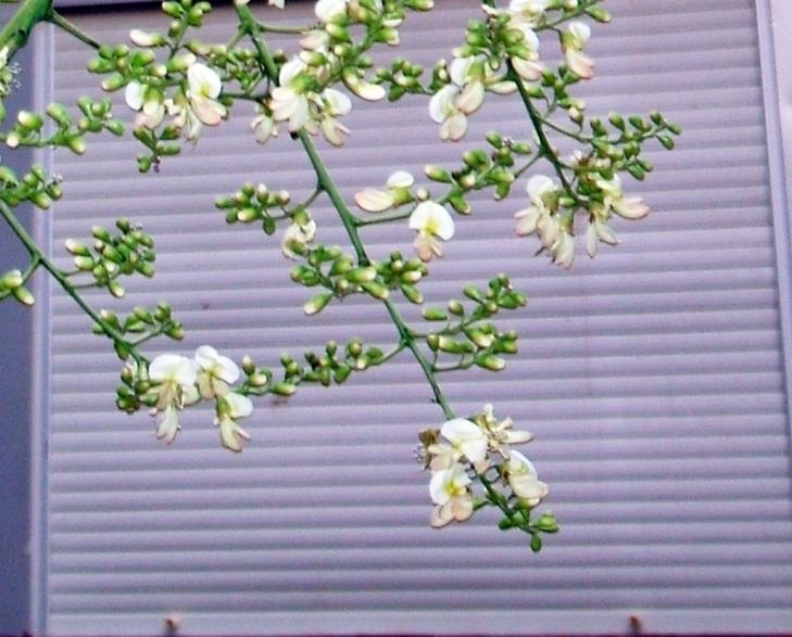 Detalle de la inflorescencia de los racimos terminales de la sófora del Japón.