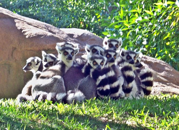 Los légures del zoológico de Bioparc de Fuengirola