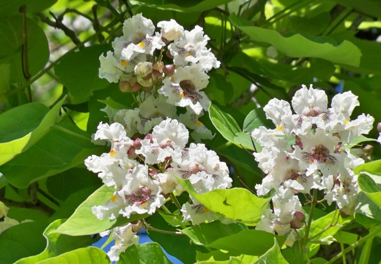 La catalpa en flor, produce una gran impresión estética.