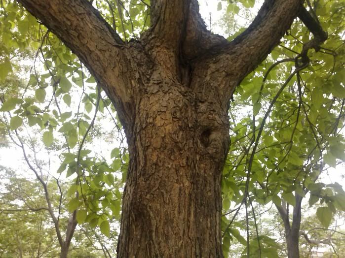 Detalles del tronco y corteza de la catalpa.