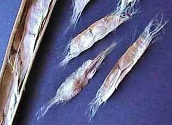 Detalles de las semillas de la catalpa.