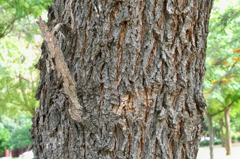 Detalle del tronco y corteza de la grevillea.