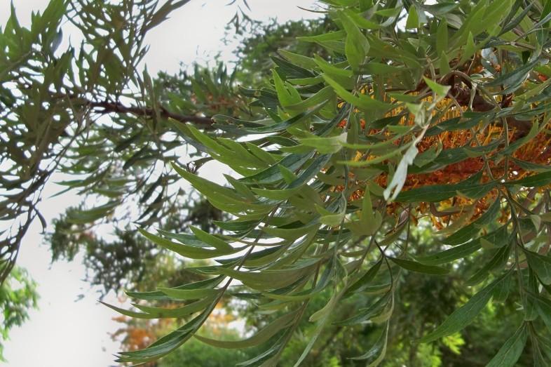 Detalle de las hojas de la grevillea.