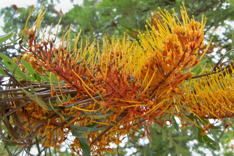 Detalle de la floración de la grevillea.