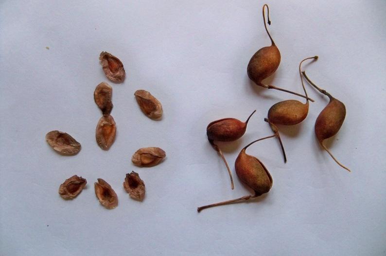 Detalles del fruto y semilla de la grevillea.