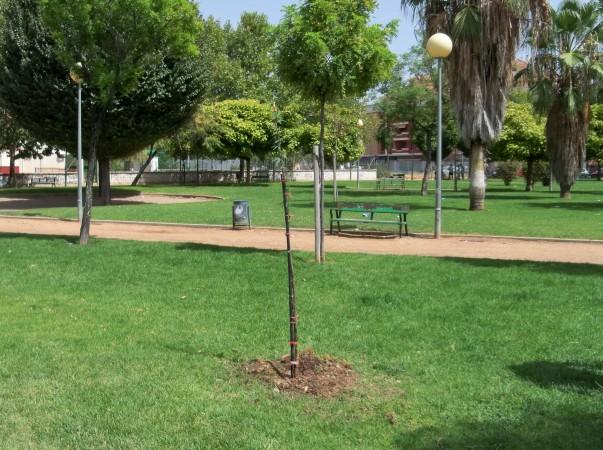 El algarrobo chileno ya forma parte del parque.
